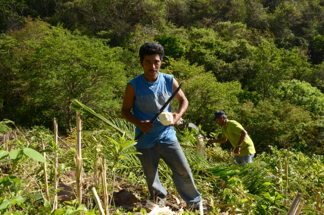 Marlon harvests palmito - the core of a palm tree